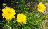 空き地に咲くこの黄色い花の名前をおしえてください。