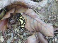 この蝶の名前を教えてください。 羽を広げた幅3~4cmの小さい蝶です。 岐阜県海津市南濃町の養老山地で見かけました。