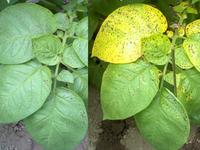 ジャガイモの「夏疫病」の直接原因は何ですか? 当方、北関東南部です。 今年の5月は30℃前後の高温・乾燥が続いたせいか、5月下旬頃から画像のように「夏疫病」が発生しました。茶褐色の小さな斑点が生じ、3~4日後には右のように黄化してしまいました。3/20植え付け、まだ開花中なので、黄化する時期ではありません。他の農家のジャガイモ畑を見ると、まだ黄化した葉はほとんど見られません。  とりあ...