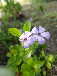 すみません、この、ルリマツリに似た花の名前を教えていただけませんか? よ~く見比べてみると、色も、雄しべの形も、背丈も全く違います。 よろしくお願いいたします
