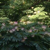 この花なんていう名前ですか? 大きな木で、シダっぽい葉っぱ、花はピンクと白でグラデーションっぽくなってて、扇子みたいになってます