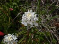 この花は何ですか?  北海道大雪山 7月