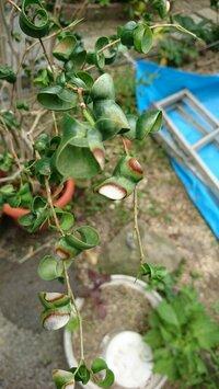 ベンジャミンバロックを育てています。 葉がこんなになってしまい、小さい新芽がポロポロ落ちるようになってしまいました。。 場所は鉢を移動して少し経ち、大きい葉は落ちることもありません 。 少し前まで、お水をあげて数時間、外に出していました。 今は、外に出すのはやめて、明るい室内でお水は1週間に1回くらい、栄養剤もあげてますが、新芽は毎日たくさん落ちています。 お詳しい方、ご指導頂ける...