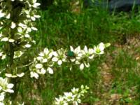 写真が小さくてスミマセン このコガネムシ(ハナムグリ?)の名前教えてください サイズは15㎜ぐらい、胸部が茶色 データは 2016年 7月 5日 宮崎県五ヶ瀬町向坂山(標高1650m位)