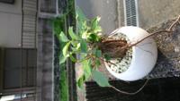 ガジュマルの根が伸びたのですが、この根は切っても良いのでしょうか。