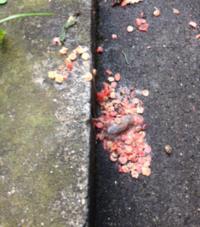 鳥のフン、木の実でしょうか?  自宅前の道路に落ちていたのですが これは一体何でしょうか? アリが群がっていました。 中心に芯のような物がありますが 糞にしては消化不良な気もします。  猫はうろうろしていますが 自然豊かという所でもありません。  気になったので質問させていただきました。