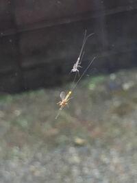 昆虫についての質問です。(画像あり) この昆虫はなんという種類ですか?    カゲロウの仲間ではないかとおもうのですが・・・ 回答のほどよろしくお願いします!