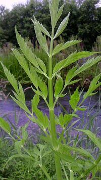 画像の野草は、食べられるセリでしょうか? それとも、毒草のドクゼリでしょうか? 茎を千切って匂いを嗅ぐと、セロリのような青臭い匂いがしました。