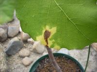 イチジクの病気について。  この写真のイチジクの葉は病気でしょうか? 葉が2枚ほど同じような枯れ方をしてます。