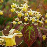 関東の植物園に植えられていた花の名前を調べています。  メギ科のキバナイカリソウに似ているようですが、距の長さも短めで、花冠の形も少し違い、色もやや濃黄色です。 画像では小さく見づらいですが、心形の...