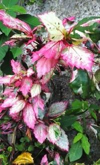 プランターの植物で色々に紅葉したこれは何という名前でしょうか?葉はハツユキカズラより全然大きいです。