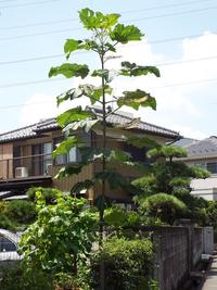 この背の高い植物は樹木になるのでしょうか、それとも草花でしょうか? 高さにして2メートルは超え、3メートル位でした。 また、この植物の名前がわかれば教えてください。
