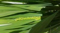 バケツ稲にチャレンジしてから約2ヶ月。なんか出てきました!これは稲の穂?稲の花?どっちなんでしょう? これは順調に育ってると考えて良いのでしょうか…なんだかドキドキです!