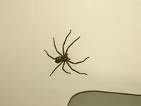 この蜘蛛はアシダカグモですか? 全長は5cm〜6cmぐらいでした あとほかっておいても夜寝ている間に噛まれたりとかはないですか?ちょっと心配です