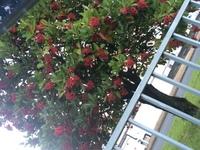 近所に赤い実をつけた木がありました。 これは何という木なのでしょうか? クロガネモチとかでしょうか?