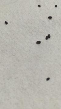 これは、なんの虫の糞ですか? この2-3日でキッチンで良く見かけます。おもにシンクと下の棚です。やはりゴキブリでしょうか?それとも蜘蛛などの昆虫ですか?沢山落ちているので、ゴキブリは こんなにもウ○チす...