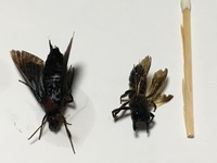 この虫が何か教えてください。  右側の虫の動きは蜂に似ていて、蜂だと思い退治してよく見たら口に大きなハサミがあり、調べてもよくわからなかったです。  もう一方は見つけた時には弱って たので飛び方は確認してませんが、蛾だと思い退治したらこれもお尻に針のようなものがあるので蜂の一種なのでしょうか?  家は小さな子供が大勢行き来するので危ない虫なら対策を練らねばと思い質問させてもらいま...