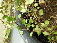 植物の名前を教えて下さい  増やし方もわかる方いらっしゃいましたらお願いします。