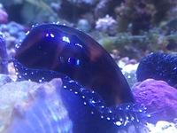 この貝の名前、判りますか?タカラガイとも違うみたいなんですが…  貝殻は結構柔らかく採取する時にちょっと割れました。 大きさは殻長で4センチ程有ります。