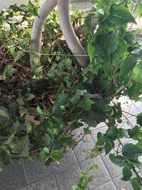 このハート型?の葉っぱの植物の名前はなんですか? 植え替えしたいのですが時期がわからなくて、、。 また葉っぱも黒いべたべたしたものが付いちゃってます。