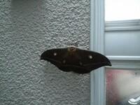 玄関に巨大な蛾がいました。 名前を教えてください。