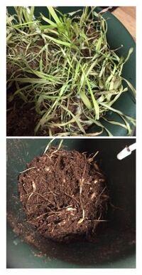 猫草の育て方について。 猫が大体食べたら、枯れ草になりますが、枯れ草はどうしたら良いですか? 引っこ抜いて捨てる? 下の土にまぜる?(土の上下入れ替え的な。) 新しい腐葉土に混ぜておく?   あと、その枯れ草をめくると、細い糸のような根っこが張り巡らされたような状態で猫草の種みたいなものも見えました。 これは種? 糸根っこがもう絡み込んだ感じで簡単には土のようにバラバラにほぐれませんでした。...