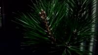 黒松盆栽で葉すかし失敗してしまいました。 全くの素人なので分かりやすく御教授下さい。 抜いてしまった葉は再度はえるのですか? また良い修正方法はありますか?画像のように上からしたまで直線的に葉を抜いてしまいました。