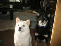 ゆうべ、9年飼っていたシバが死んだ。 9年前に家内が買ってきた頃は小っちゃくて、頑固でワガママだった真っ白いチビ犬。 自分には何故かすぐ懐いて、抱くとグウグウ・・・ケケケッ・・と変な声を出して甘えて...