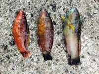 ベラ系の魚だと思うのですが、この3匹の名前を教えてください。 全部違いますか?  よろしくお願い致します。