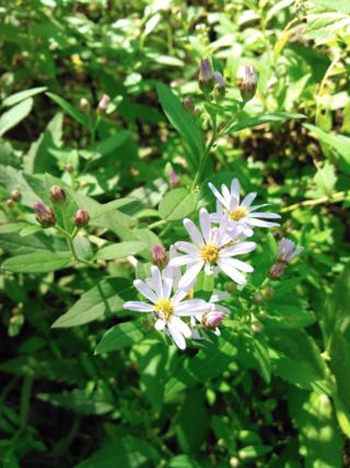 ノコンギク,薄紫色,筒状花,舌状花,白色