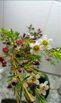 この花の名前を教えてください!  ローズマリーのような葉におもちゃみたいな赤と白の花が咲く、この花の名前を教えてください。 よろしくお願いいたしますm(_ _)m