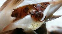 この虫、アニサキスですか? メバルのお腹にいました。 色は白くないですが・・・ いっぱいいました(>_<)