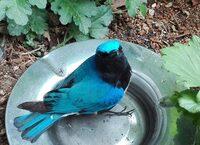 この鳥の名前を教えてください。  今日、歩道上に弱っているのか飛べなくなってる小鳥を保護しました。スズメより少し大きいくらいの小鳥です。飼われていたのが逃げてきたのでしょうか? とても綺麗な青い鳥なのですが見たことのない鳥です。ネットで検索してみましたがヒットしません。どなたかご存知の方、よろしくお願いします。