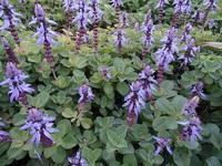那覇市内の歩道でよく見る紫色の花で、雑草と化しています。これはなんという植物でしょうか?