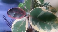 これは、フィカス、ゴムの木ですが 赤ゴムのベリーズでしょうか?  いくつも観葉植物集めていますが、いまいちはっきりしません。  2年前ホームセンターで入手とき忘れてしまいました 観葉植物詳しい方、専門で観葉植物育てている方わかりますでしょうか?  幼葉ピンクに見えます  しかし上の葉のみ 全体的赤くならないのでわかりません