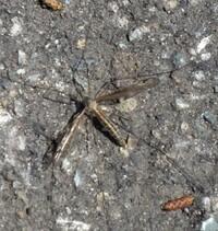この昆虫の名前を教えていただけませんか? カゲロウの仲間でしょうか?