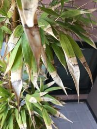 家の黒竹です。 葉っぱがこんな感じなのですが、病気でしょうか? お手入れ方法などご教授いただけたら幸いです。