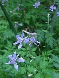 ムラサキケマンの後、庭に繁茂している草花です。何でしょうか?