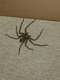 この蜘蛛は、アシダカ軍曹ですか? もしアシダカ軍曹だとしたらほおっておきます。 ゴキブリを捕食する最強ハンターですので。