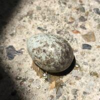 ベランダに鳥の卵がありました。 大きさが約2cm程で薄いグレーに茶色っぽい模様があります。  住宅地の2階に住んでいます。 周りには3階建に達する木が何本があります。 色んな鳥の鳴き声が聞こえます。 鳩はまだ見かけていません。  卵はベランダの中央にあり真上や室外機の下には巣はありませんでした。  この卵は何の卵でしょうか?