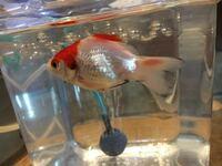 金魚が写真のように水槽でもぼーっとしていて元気がなさそうだったので、隔離して0.5%の塩浴をさせています。何回かそのようなことがあったのですが元気にさせる方法などありますか?同じ水槽にいる他の金魚が比較的 元気です。