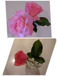 薔薇バラの品名が分かりません。 ご存知の方いらしたら教えてください。 大輪で、木立の薔薇です。写真の色は上下で色が違うのは蕾は夜撮影したからです、、すみません。 色は開花時の写真が本物に近いと思います。 宜しくお願いします。
