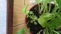 観葉植物のポトス 小さい葉っぱがたくさん出てきて 何が原因なんでしょうか?