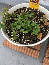 ルブス ネパレンシスが端の方から枯れています。  2週間ほど前に苗を購入し植え替えたのですが、なぜでしょうか…  まだ生き返る方法はありますか? 土は普通の培養土を使用しています。