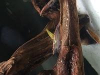 このチェリーシュリンプは寄生虫がいるのでしょうか?