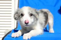 鼻にぶち(ピンクに黒の斑点)がある子犬は成長したらぶちは消えますか? こんにちは。ボーダーコリーやシェルティの子犬の画像を漁っていたらブルーマールというカラーを知りました。 私は凄く綺麗な色だなと思...