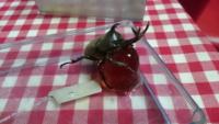 カブトムシを庭で拾いました。 子どもが買いたいというのでプラスチック容器に入れてます。 昆虫の餌という、ゼリーも買ってきてあげましたが…顔がゼリーにめり込んでいます。 このままで死にませんか?
