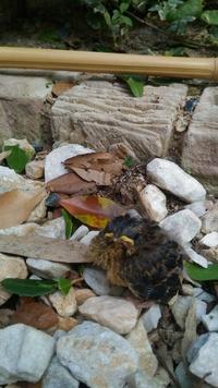 庭の低木にスズメ巣が出来てました。 高さは170cmぐらいの所で、初日は生まれたばかりの赤ちゃんヒナ5匹と、 巣立ちヒナが庭にいました。後で巣立ちヒナにもエサをあげていたので、同じ 親だと思います。 その後巣がある木の枝に止まってました。 2日目には巣立ちヒナはどこかに行き、赤ちゃんヒナにせっせと餌を運んでましたが、 豪雨が可哀想と子供が木に傘をかけました。 3日目の朝9時頃に子...