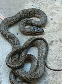 駐車場に蛇がでました。 どなたか詳しい方、種類が分かりましたら教えてください。  写真では大きく見えますが、サイズ的にはちょっと細目で延ばして70センチぐらいじゃないかと。  もしか したらマムシ? ...