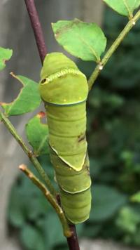 昨日アゲハの幼虫の体に黒い部分があるのを見付けました 寄生虫に寄生されているのでしょうか?